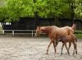 Klisna a hříbě ze Znamení koně